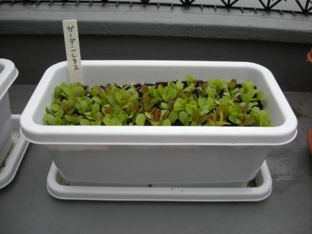ガーデンレタス20110430