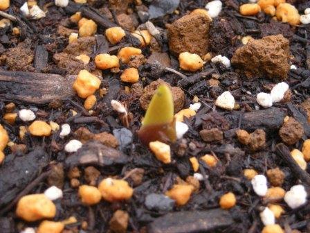 グラジオラスの芽20110430