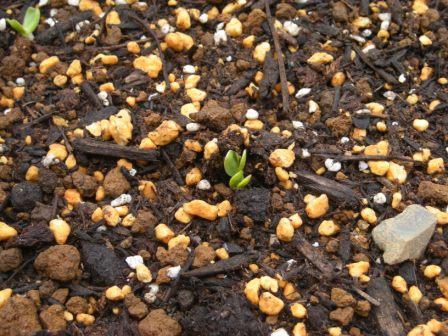 ミニひまわりの芽