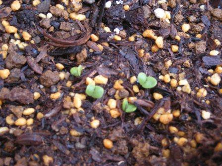 バジルの芽20110507
