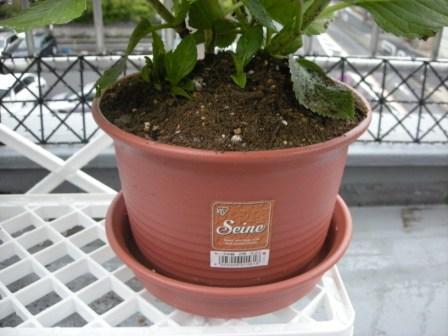 アジサイの植木鉢